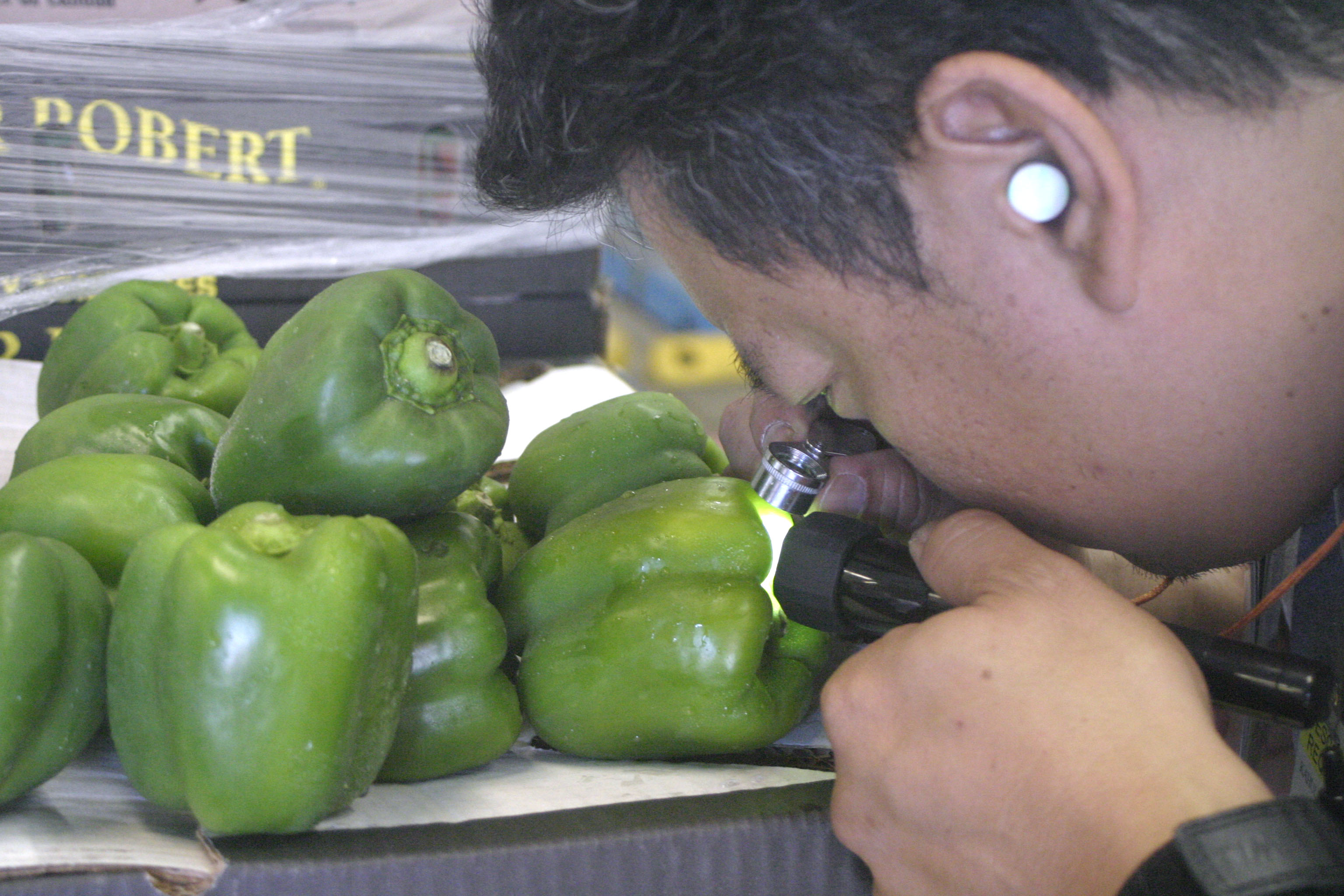 Photograph of inspector with magnifyer looking at bell pepper.