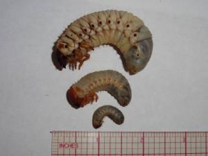 CRB Larval Instars
