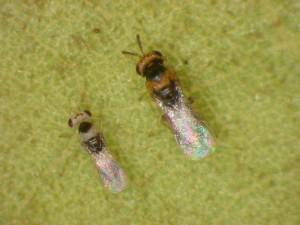 Wiliwili gall wasp (Quadrastichus erythrinae) male (left) and female (right).