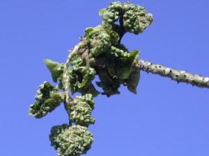 Gall damage to wiliwili ( Erythrina sandwicensis) leaves and stems.