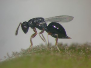 Wiliwili gall wasp parasitoid. Eurytoma erythrinae.