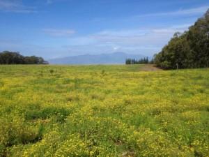 Fireweed on Haleakala Ranch - 3-21-13