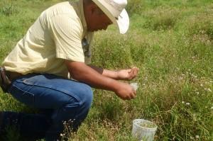 Rancher releasing biocontrol