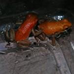 D. granuliferus-r