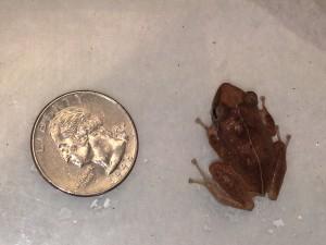 Kalihi Valley frog1