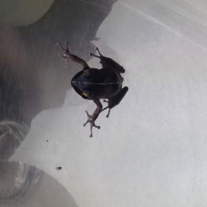 Waikiki frog 6 4-12-14