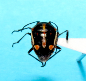 Bagrada bug - adult
