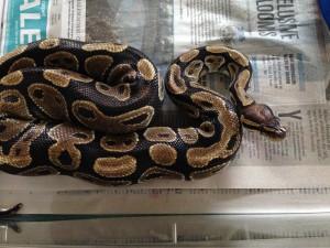 PC Python1