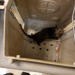 Opossum 6-3-16