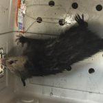 Opossum2 6-3-16
