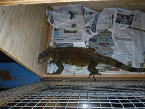 Picture of caught Iguana in box