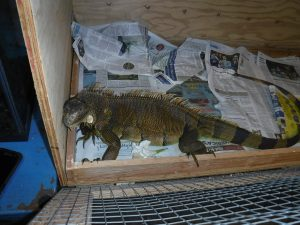 Picture of caught Iguana in box 2