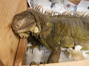 Picture of caught Iguana in box close up
