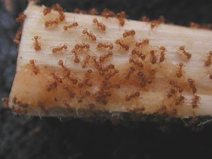 LFA on peanut butter chopstick test
