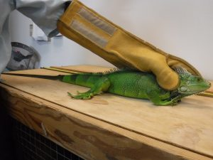 Picture of green Iguana