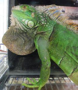Green Iguana - Waimanalo