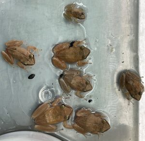 Coqui frogs caught in Waimanalo